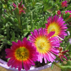 Delosperma hot pink wonder®