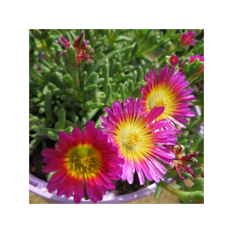 Delosperma fire wonder®
