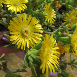 Delosperma golden wonder®