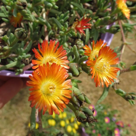 Delosperma orange wonder®