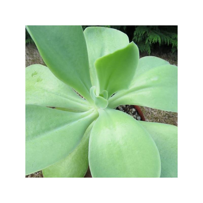 Echeveria mesa verde