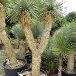 Yucca rostrata (2 or 3 heads)