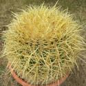 Echinocactus grusonii horridispinum