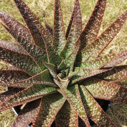 Aloe flow