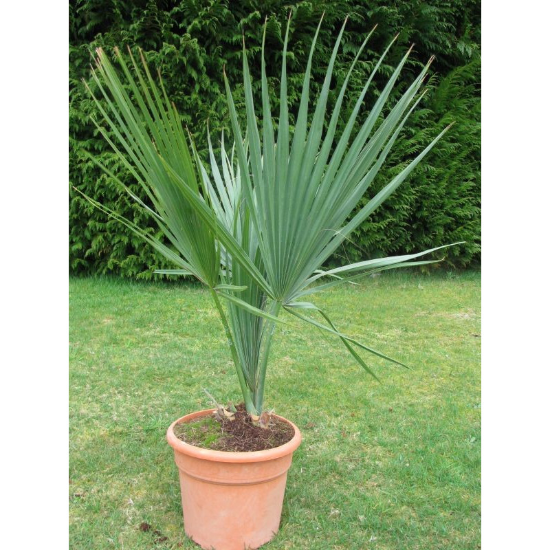 Sabal minor 'Louisiana'