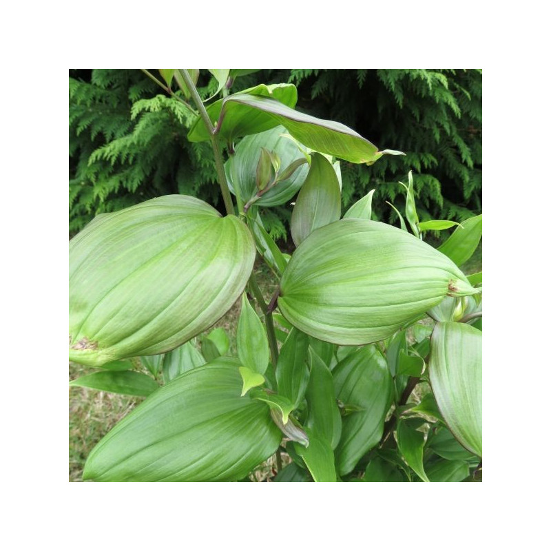 Disporum cantoniense green giant