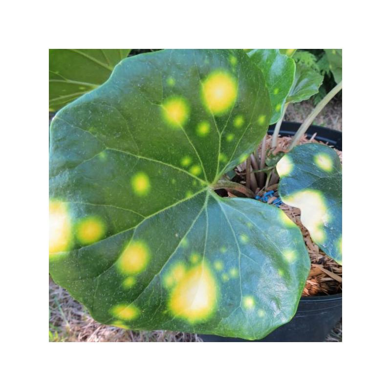 Farfugium japonicum aureomaculata