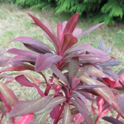 Euphorbia ruby glow®