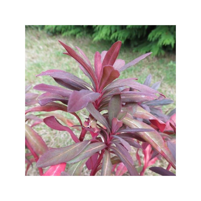 Euphorbia ruby glow
