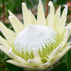 Protea white ice®
