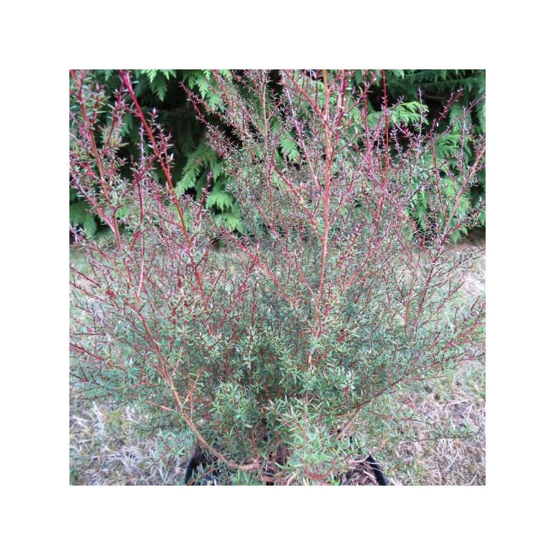 Leptospermum Wiri Joan