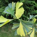 Ginkgo mellow yellow