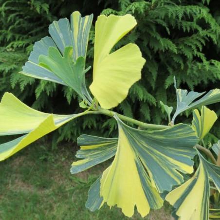 Ginkgo yellow mellow