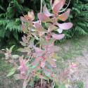 Protea eximia