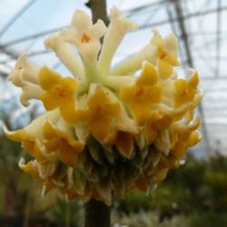 Edgeworthia winterliebe