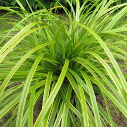 Carex everlime®