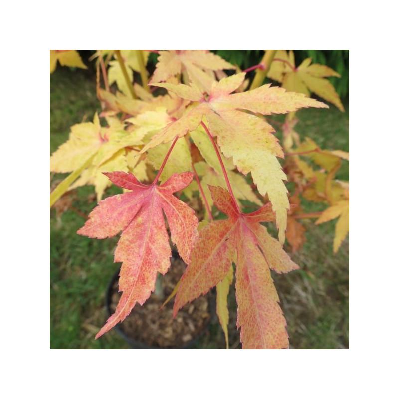 Acer palmatum shin-nyo®