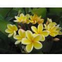 Plumeria Heidi gold