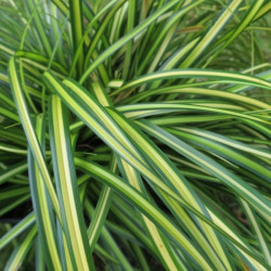 Carex eversheen®