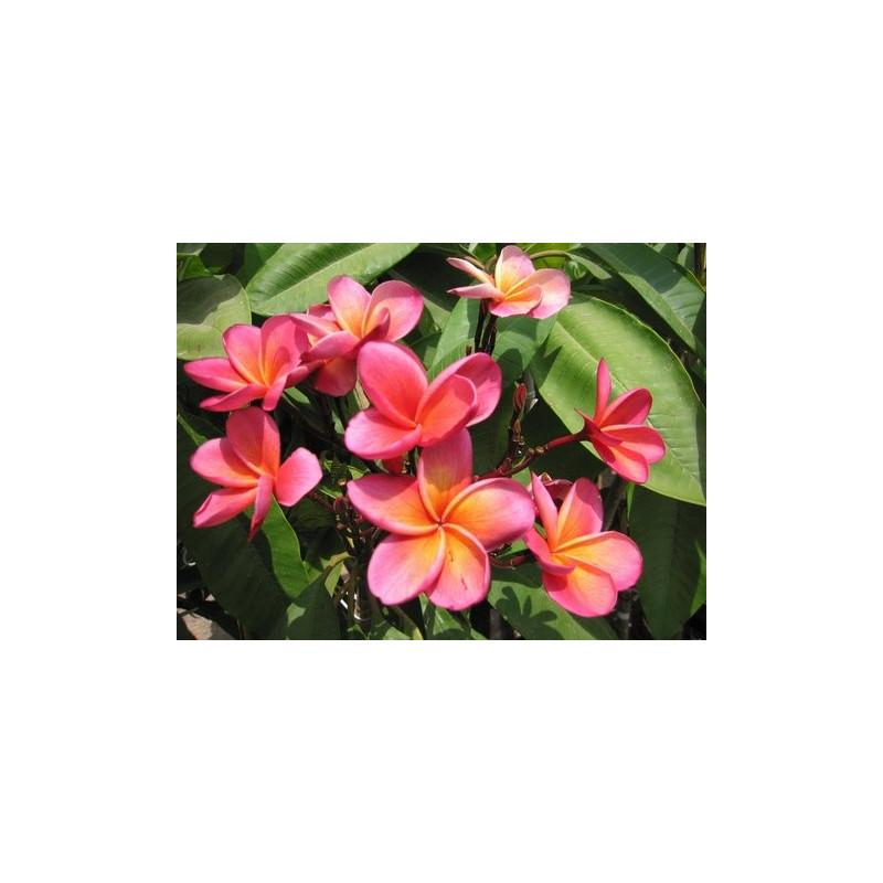 Plumeria rubra Kimo
