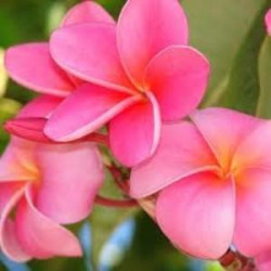 Plumeria Samoan fluff pink