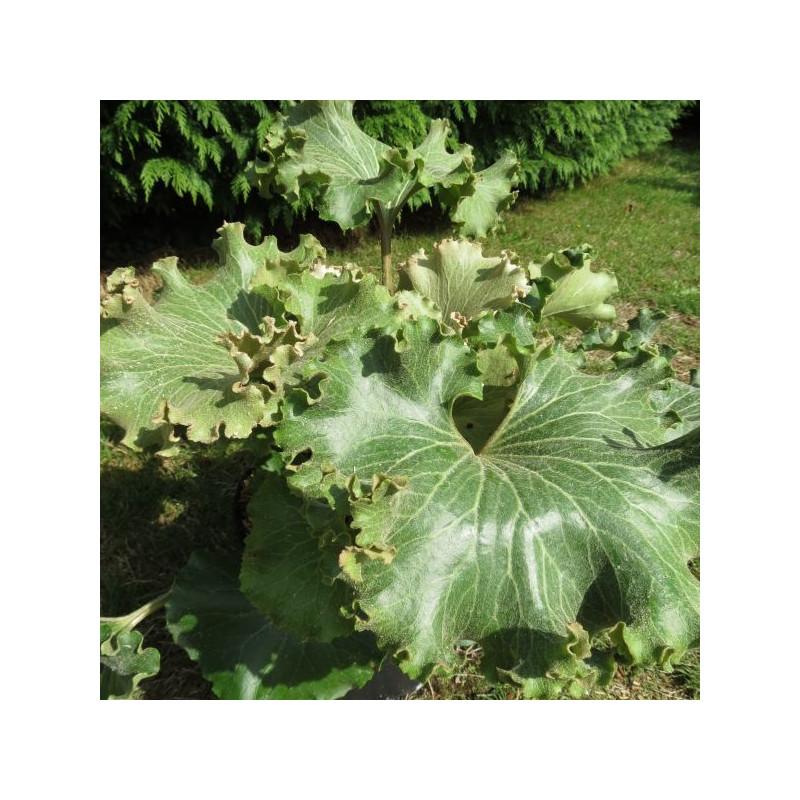 Farfugium crispatum