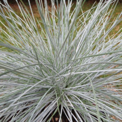 Festuca intense blue®