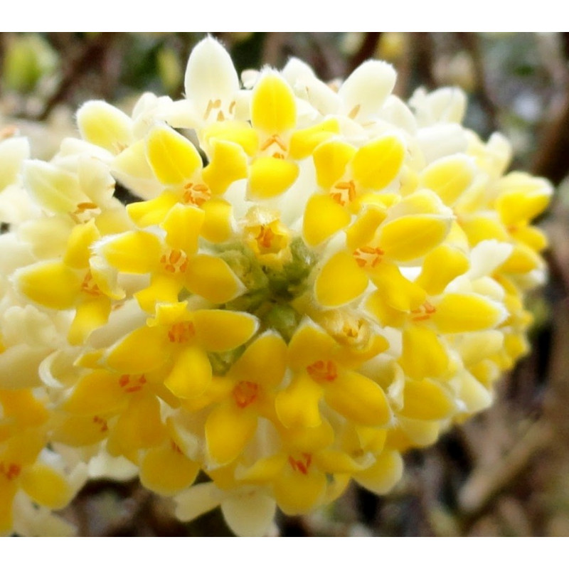 Edgeworthia Nanjing gold