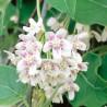 Wattakaka sinensis