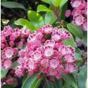 Kalmia latifolia red bandit