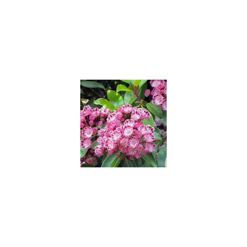 Kalmia latifolia red bandit
