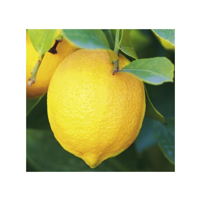 Citrus limon Garey's eureka