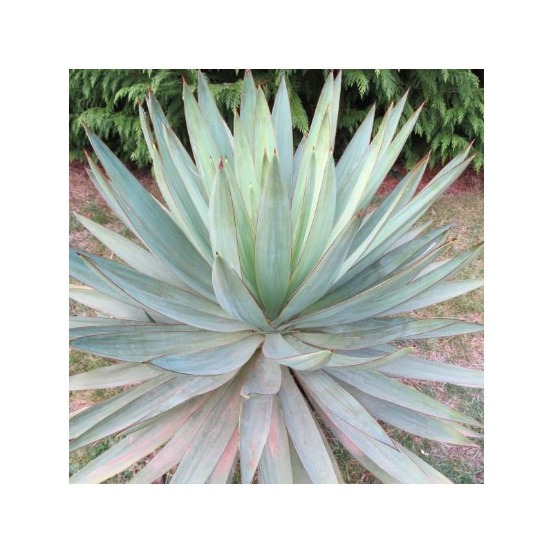 Yucca 'lone star'
