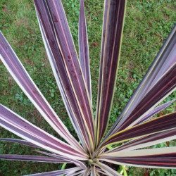 Cordyline electric flash