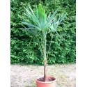 Trachycarpus princeps vert (nova)