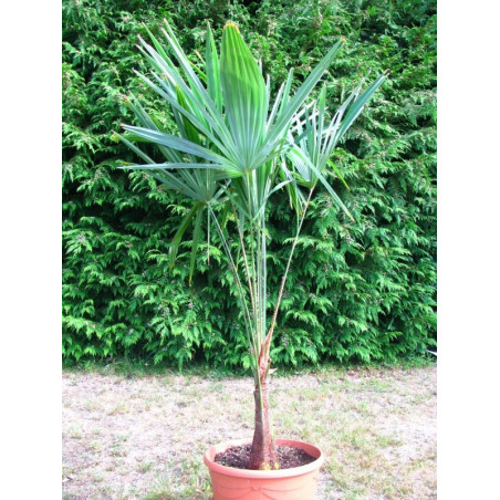 Trachycarpus princeps green (nova)