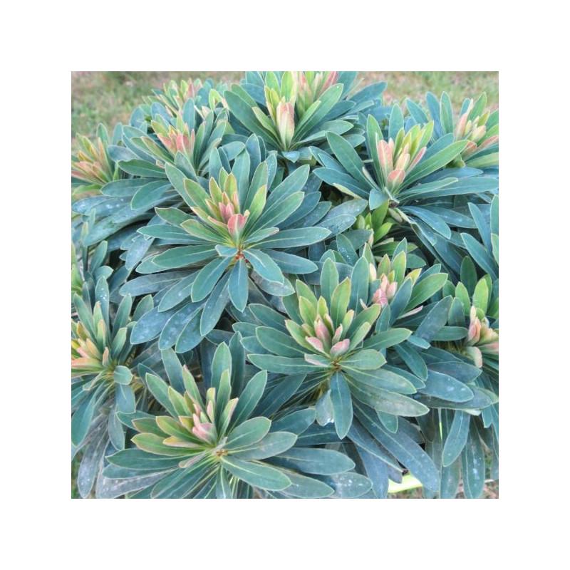 Euphorbia tiny Tim