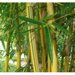 Bambusa eutuloides