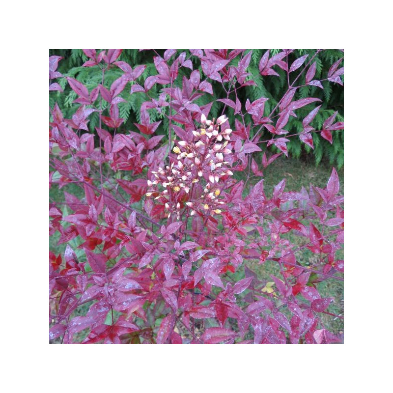 Nandina Moyer's red
