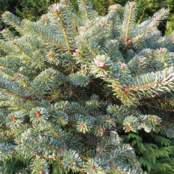 Abies koreana bonzai blue
