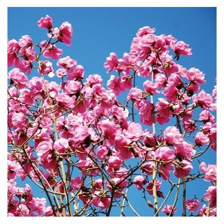Magnolia Caerhays belle