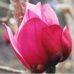 Magnolia Caerhays new purple