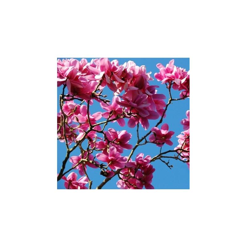 Magnolia campbellii 'Charles Raffil'