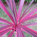 Cordyline banksii electric pink™