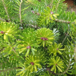Abies koreana luminetta