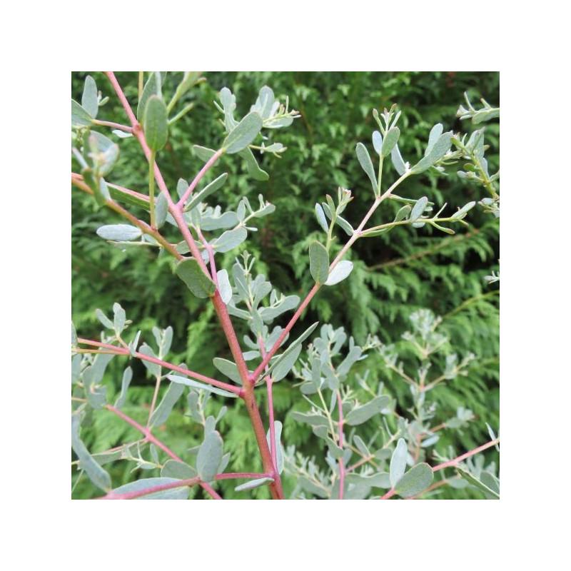 Eucalyptus gunnii France bleu®