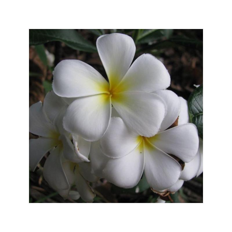 Plumeria acuminata blanc