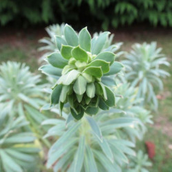 Euphorbia shorty