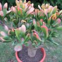 Crassula ovata Hobbit tricolor