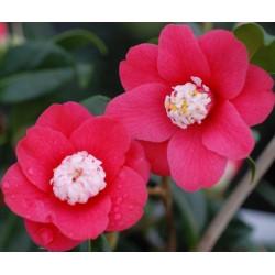 Camellia marshmallow